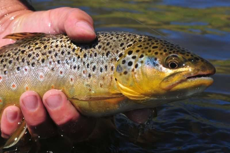 Vermont fishing tour guide trout with garlic butter herb for Vermont trout fishing